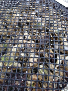 300 Oysters at the beginning of our oyster gardening project. At this size, the oysters have to be placed within a mesh bag, which is placed in the floating cage.