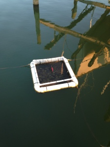 The remaining oysters floating off of our dock.